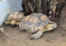 Een aldabra reuzeschildpad (gigantea Aldabrachelys) Stock Foto