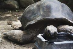 Een Aldabra-schildpad die in een dierentuin eten Stock Fotografie