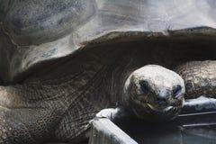 Een Aldabra-schildpad die in een dierentuin eten Stock Afbeeldingen