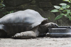 Een Aldabra-schildpad die in een dierentuin eten Royalty-vrije Stock Afbeeldingen