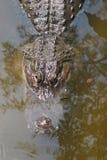 Een aligator in het het moerasland van Florida Royalty-vrije Stock Foto