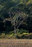 Een alleen boom op gebied Stock Fotografie