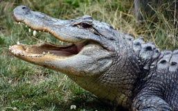 Een alligator Stock Foto's