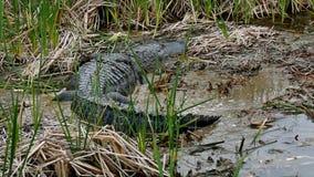Een Amerikaanse alligator die in modder van moeras bij Haven Aransas, Texas kruipen stock footage