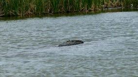 Een Amerikaanse alligator die in wateren bij Haven Aransas, Texas zwemmen stock videobeelden