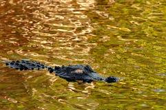 Een Amerikaanse alligator drijft op glanzend groen gouden water stock fotografie