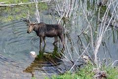 Een Amerikaanse eland in de wilgen Royalty-vrije Stock Afbeelding