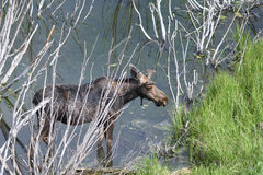 Een Amerikaanse eland in de wilgen Stock Afbeelding