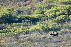 Een Amerikaanse eland in Denali-Park royalty-vrije stock foto