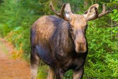 Een Amerikaanse eland die een onderbreking van het eten nemen Stock Afbeelding