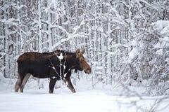 Een Amerikaanse eland in het bos stock afbeelding