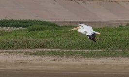 Een Amerikaanse witte pelikaan tijdens de vlucht boven een klein reservoir stock fotografie