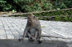 Een andere enkel aap in het bos van Ubud stock foto