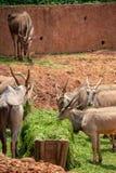 Een antilope, een type die van zoogdier, op een geit lijken Het mannetje en het wijfje hebben hoornen, grijsachtig-gele, bruin-gr royalty-vrije stock afbeelding