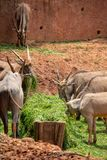 Een antilope, een type die van zoogdier, op een geit lijken Het mannetje en het wijfje hebben hoornen, grijsachtig-gele, bruin-gr stock foto