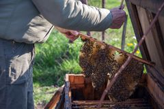 Een apiarist die aan een honingbijlandbouwbedrijf werken royalty-vrije stock foto's