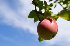 Een appel Royalty-vrije Stock Afbeeldingen