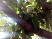 Een appelboom royalty-vrije stock foto
