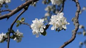 Een appelboom in bloei De zonnige dag van de lente Bloeiende boom in een park in de lente stock footage
