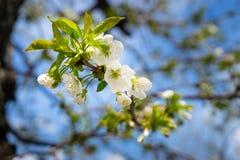 Een appelboom in bloei in Mei stock foto