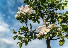 Een appelboom die in een tuin bloeien Stock Fotografie