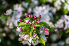 Een appelboom die in een tuin bloeien Royalty-vrije Stock Foto's