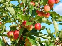 Een appelboom met appelen Stock Fotografie