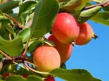 Een appelboom met appelen Stock Afbeelding