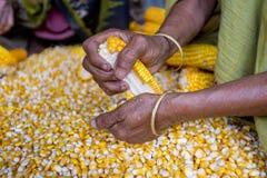 Een Arbeider spreidde maïsgewas voor het drogen uit Royalty-vrije Stock Fotografie