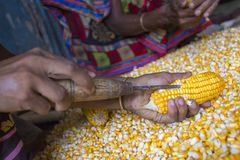 Een Arbeider spreidde maïsgewas voor het drogen uit Royalty-vrije Stock Foto's