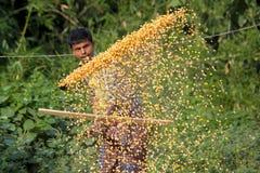 Een Arbeider spreidde maïsgewas voor het drogen uit Stock Afbeeldingen