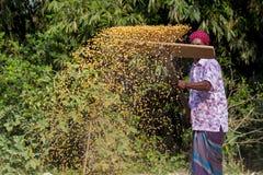Een Arbeider spreidde maïsgewas voor het drogen uit Stock Foto
