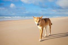 Een Australische Dingo stock fotografie