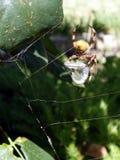 Een Australische Spin klaar om een hagedis te eten Royalty-vrije Stock Afbeeldingen