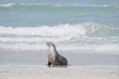 Een Australische zeeleeuw royalty-vrije stock afbeeldingen