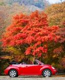 Een auto en een rode esdoornboom Royalty-vrije Stock Fotografie