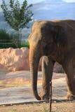 Een Aziatische olifant stock foto's