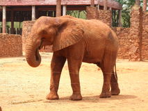 Een Aziatische olifant Stock Afbeeldingen
