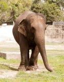 Een Aziatische olifant Stock Foto
