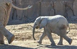Een Baby Afrikaanse Olifant draaft na zijn Moeder Stock Foto