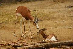 Een baby en moedergazelle Royalty-vrije Stock Afbeeldingen