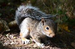 Een baby grijze eekhoorn Royalty-vrije Stock Foto's