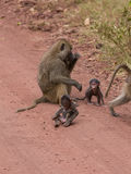 Een babybaviaan die zijn lichaam onderzoeken Stock Foto's