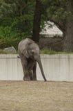 Een babyolifant Royalty-vrije Stock Afbeeldingen