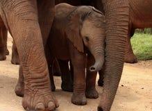 Een babyolifant die door haar moeder wordt beschermd Stock Foto's