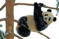Een babypanda speelt op de boom in bifengxia stock foto's