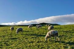 Een backlit troep die van schapen, op een weide weiden Stock Fotografie