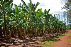 Een banaanaanplanting in Queensland Stock Afbeelding