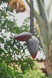 Een Banaanbloesem die van een Boom in Marrkech, Marokko hangen Stock Afbeeldingen