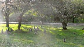 Een band die van wilde apen in de oude stad Anuradhapura, Sri Lanka spelen stock video